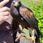 Bell - Harris Hawk - Jagdschule Schüttler